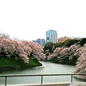 2020桜追い♪さながら人の一生のような千鳥ヶ淵の今を盛りの満開の桜と桜吹雪と花筏♪