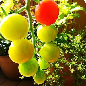 土曜日は食育ブログ♪ステイホームの素人ベランダガーデニングのミニトマトが赤く色づき始めた喜び