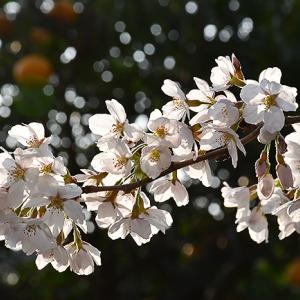 3月27日(火)桜の開花進み...春本番へ。