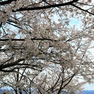 桜2020:1