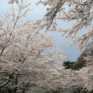 桜2020:2