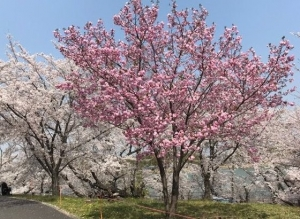 奈良で花見 part1