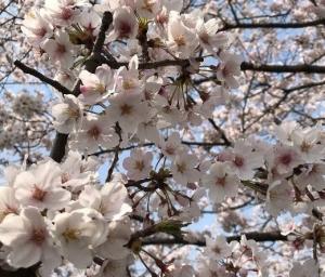 奈良で花見 part2