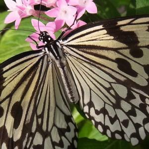 黄揚羽蝶でしょうか?