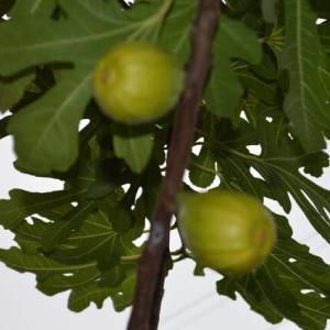 無花果の夏果と秋果