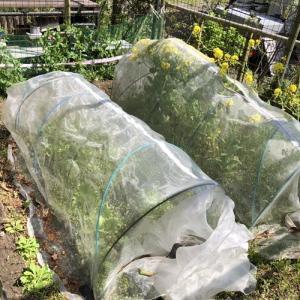 自粛と菜園