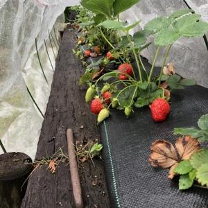 イチゴ、枝豆、トマト、山椒!?