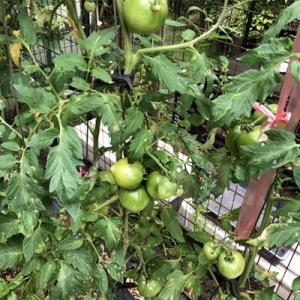 トマトにうどん粉、ネギ苗植えた、レグザ壊れるの3本立て!