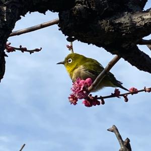 大阪城公園の梅林情報