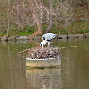 鶴見緑地のアオサギと水鳥2021