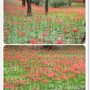 村上緑地公園であたり一面赤い絨毯の世界を満喫したなの♪
