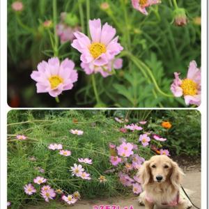 雨風にも負けず力強く咲いていたコスモスを満喫したなの♪@富田さとにわ耕園