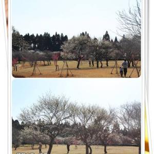 広い梅園で見ごろの梅を堪能したなの♪@昭和の森