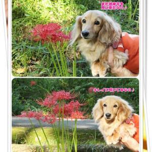 千葉公園で見ごろの彼岸花を堪能したなの♪