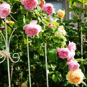 おすすめの薔薇って。。&春薔薇を振り返る