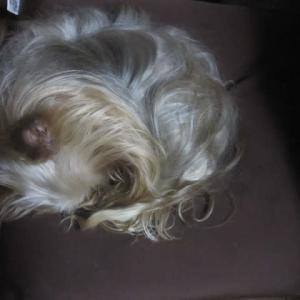極小ヨークシャテリア・ルーシィ 13歳になりました。