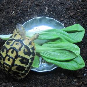 ニシヘルマンリクガメのちゃん太と青梗菜