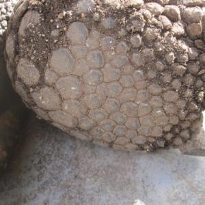 チビアルダゾウガメの後肢裏側