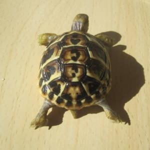 ニシヘルマンリクガメの孫亀 ♥柄甲羅