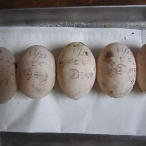 ビルマホシガメ いい夫婦の日(11月22日)産卵