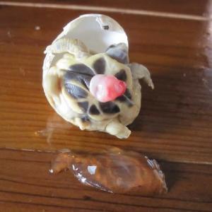 ニシヘルマンリクガメの孫亀6号が誕生