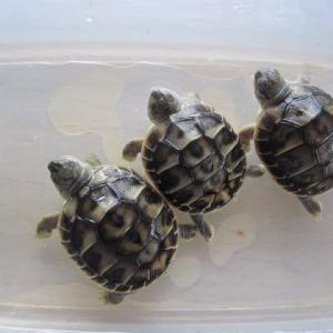 ニシヘルマンリクガメの孫亀3匹 合同温浴