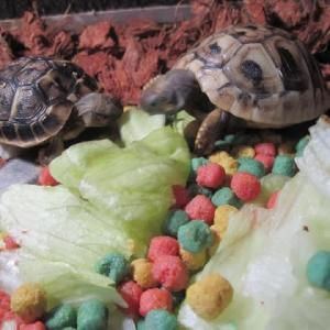 孫亀たちがレタスを一緒に食べる