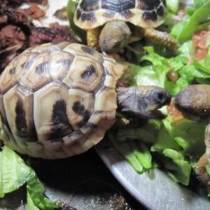 ヒガシヘルマンリクガメの孫亀はトマト大好き