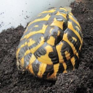 ニシヘルマンリクガメの寅子 抱卵確定