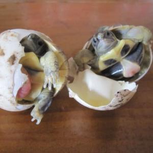 阪神・淡路大震災から26年 誕生したニシヘルマンリクガメの孵化仔たち