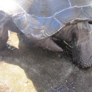 チビアルダゾウガメ・ジョーのお尻尾
