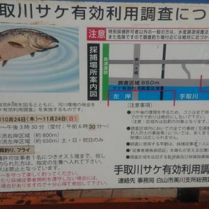 11月13日手取川【サケ釣り2回目】