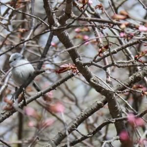 5/2 シマエナガと桜🌸