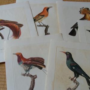 鳥の版画(Audebert & Vieillot)を買いました