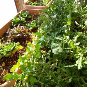 冬越し野菜