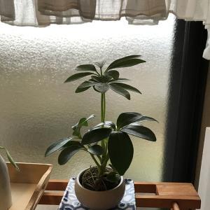ママイクコの観葉植物