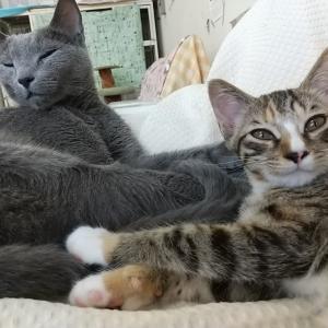 お勉強の時間にゃ!?猫が伸びーーるヒミツ