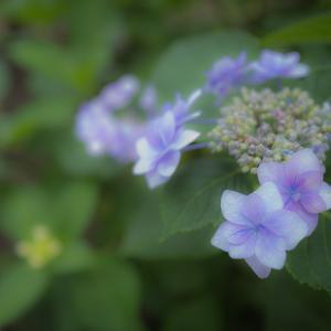 紫陽花 その1