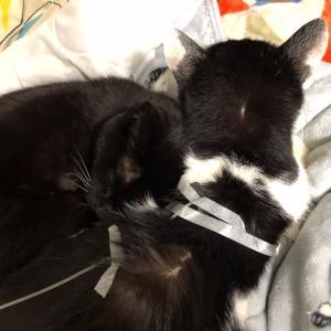 腎臓病猫ちゃん ミウ お家で初点滴 寄り添う妹猫 黒猫きら