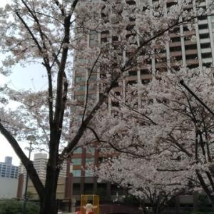 4/2 東京の桜 1