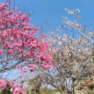 4/8 桜