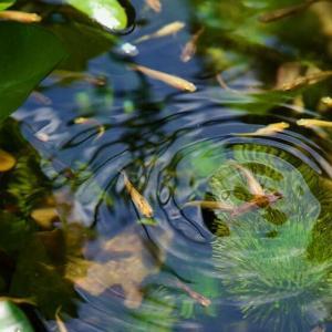 我が家のビオトープ、メダカ池