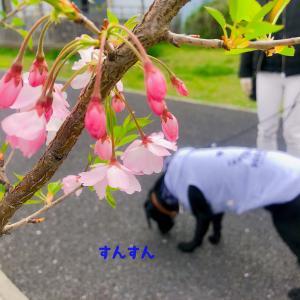 春のふわふわおさんぽ。