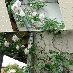 ええっ…薔薇の葉の裏に…丸い球体が…