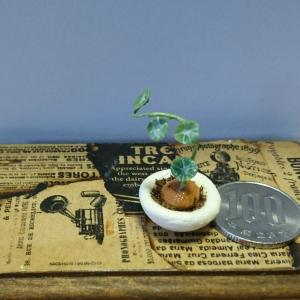 塊根植物…「ステファニアエレクタ」作ってみました