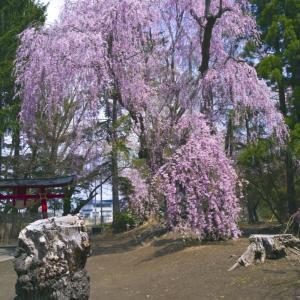 大星神社の枝垂れ桜2020