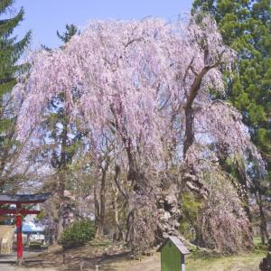 大星神社の桜2021