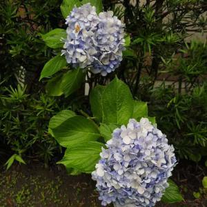お化け紫陽花