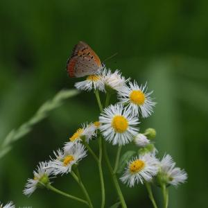 Small copper & holly blue