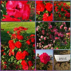 数年ぶりの薔薇園